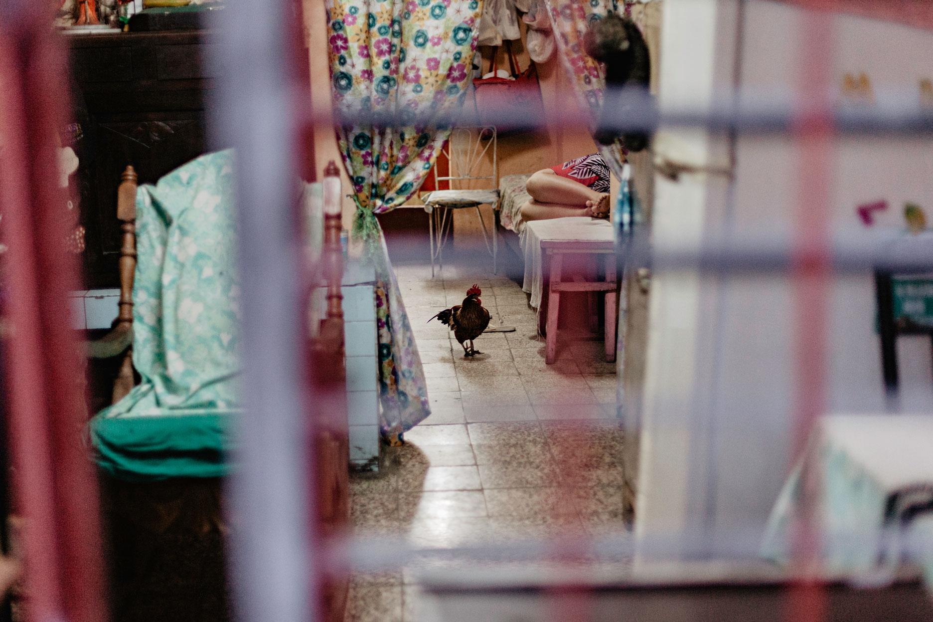 Gallinas en La Habana