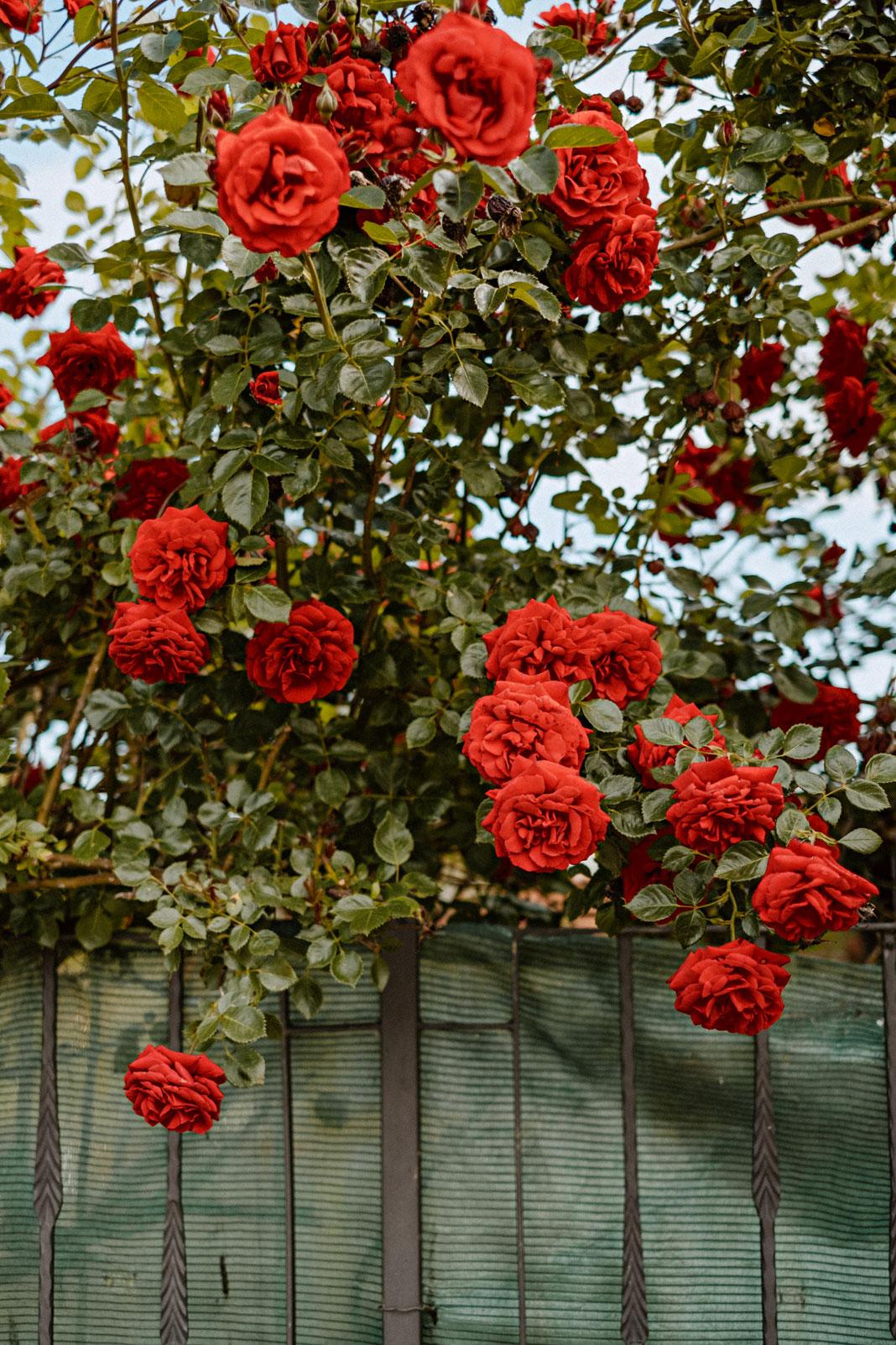 Fotos de un rosal