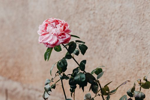 Lámina decorativa: bodegón rosa